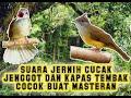 Suara Jernih Cucak Jenggot Dan Kapas Tembak Cocok Buat Masteran  Mp3 - Mp4 Download