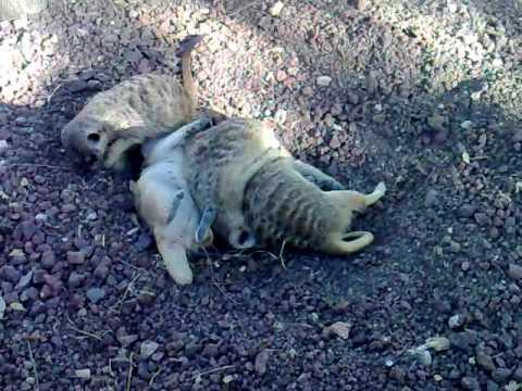 family de suricatos faunia - YouTube