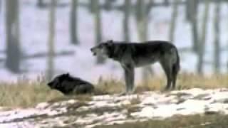 Волки поют. Красиво сделано. ).240.mp4
