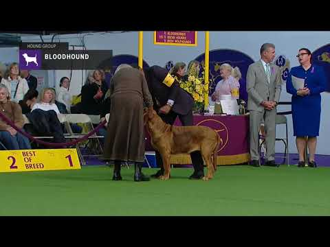 Bloodhounds | Breed Judging 2019