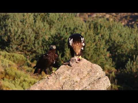 Male and female of Spainsh imperial eagle. Aquila adalberti