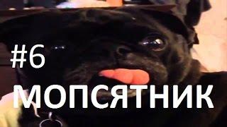 Приколы! подборка СМЕШНОГО видео Мопсов! 2 мин Угара! подборка 2016 Funny Pugs Compilation 2 min