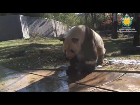 Giant panda enjoys bubble bath in tiny tub