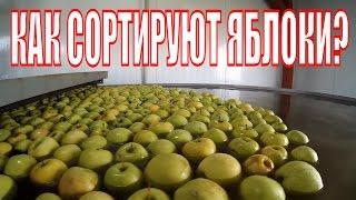 Как сортируют яблоки?(, 2016-11-03T21:51:13.000Z)
