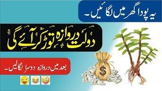 How to become rich || crassula Ovata || Make Money || Jade Plant
