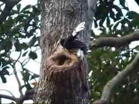 Oriental Pied Hornbill @ Singapore
