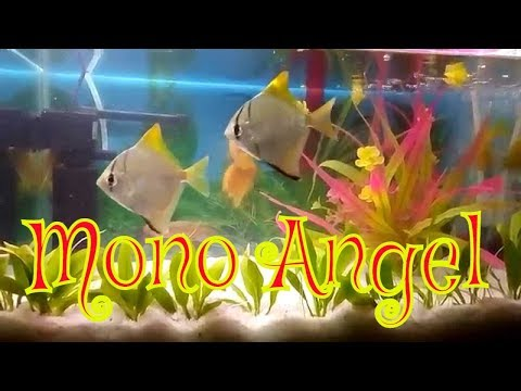 Mono Angel Fish Freshwater