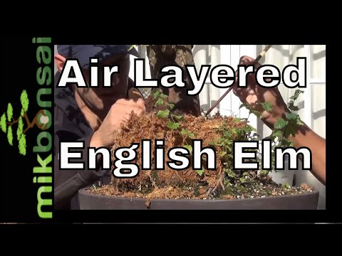How to air layer a large neglected English Elm Bonsai tree