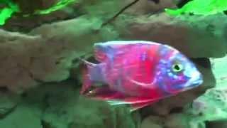 Аулонокара мультиколор (Aulonocara Multicolor)(, 2015-08-09T17:02:48.000Z)