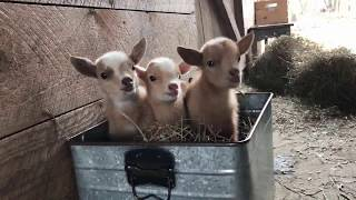 【動物】よちよち歩きの子ヤギたち【かわいい】 Collection of Baby Goat thumbnail