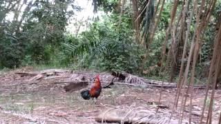 ayam hutan pikat king