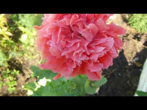 Пионовидный мак, очень красивый, растёт в моём саду.