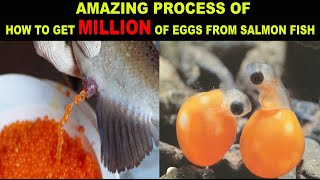 How To Harvesting Salmon Eggs And Artificial Insemination Millions Fish Eggs
