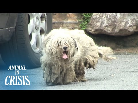 Ragged Dog Neglected For Years Wishes To Be Loved By People Again | Animal in Crisis EP74