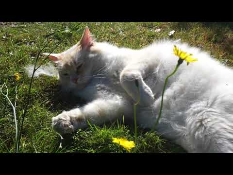 Ragamuffin cat - feeling frisky
