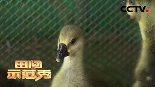 《田间示范秀》 20201223 灰鹅增肥效益高 CCTV农业 - YouTube