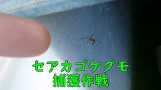 セアカゴケグモ捕獲作戦(18/03/10)【和歌山市】