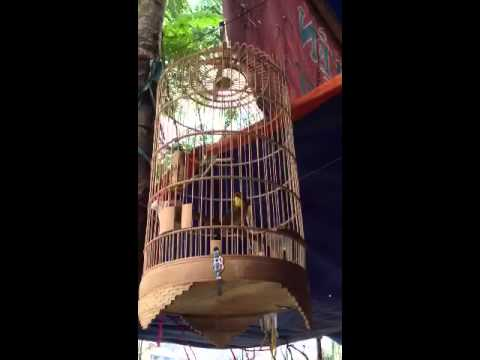 Tiếng hót chim quế lâm cực đỉnh