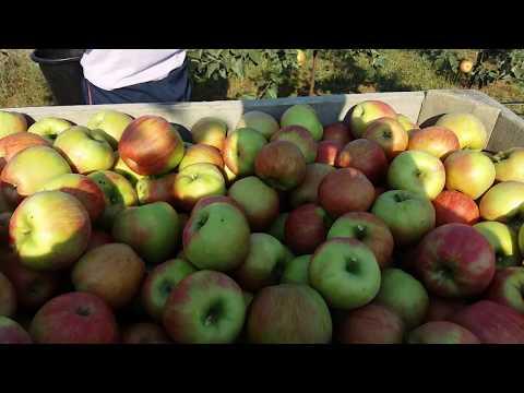 Яблука Honey Crisp  на Поділлі