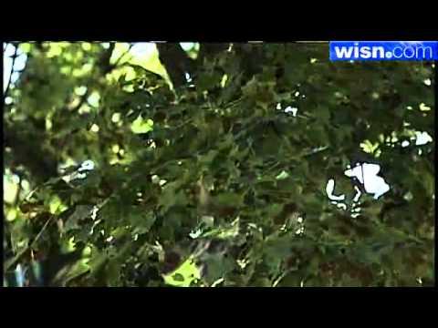 Disease Hits Maple Trees Across Southeastern Wisconsin