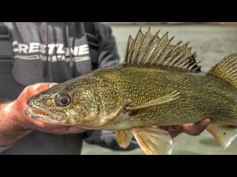 Walleye In Two Feet Of Water - Casting Soft Plastics