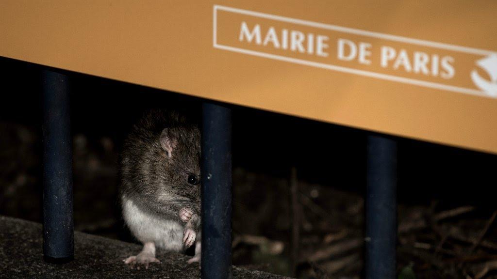 rat attack paris declares war on city s exploding rodent population youtube. Black Bedroom Furniture Sets. Home Design Ideas