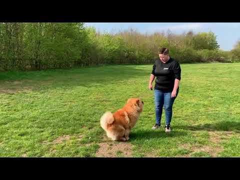 Chow Chow | Ninja | Dog Training in London