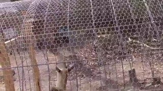 cattle panel chicken coop