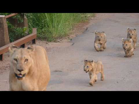 Lioness with Cubs in Pilanesberg National Park - 02/2017 - South Africa