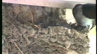 前年蛇に雛をやられたので、巣をモニターするためカメラを設置。