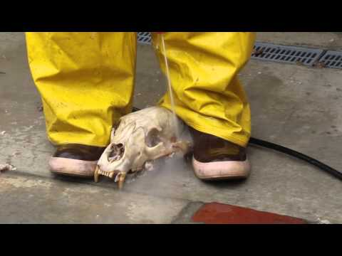 HOW TO CLEAN A BEAR SKULL. THE FAST PROFESSIONAL METHOD