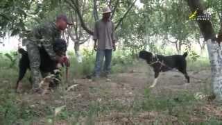 Собачьи бои, умиротворение агрессивной собаки