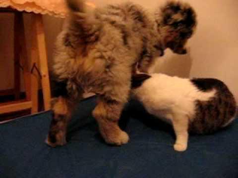 Australian Shepherd puppy VS Cat