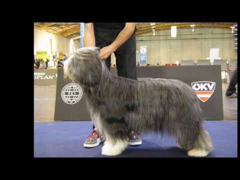 BEARDED COLLIE GREMONTREE - Michelle