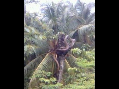 NGERI..!! Ular Piton Di Temukan Warga Ketika Saat Menebang Pohon Di Hutan