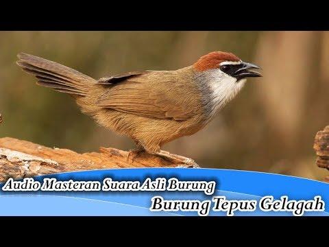Suara Asli Burung Tepus Gelagah/Kaso Kaso/Kidangan untuk Masteran (Chestnut Capped Babbler)
