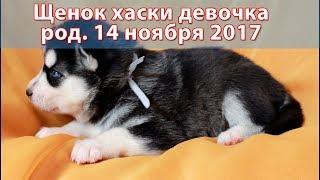 Щенок хаски девочка чёрно-белая, родилась 14 ноября 2017 года