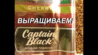 Выращиваем Captain Black