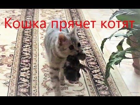 кошка прячет котят