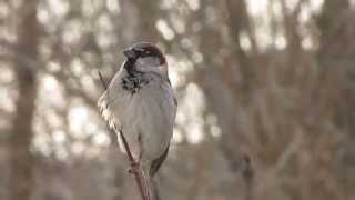 Домовой воробей, песня.. House sparrow, song