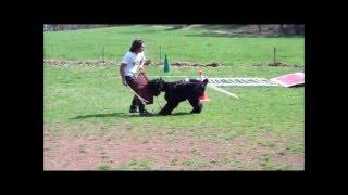 Black Russian Terrier Fedik (Freddy), CT, USA - FR Face Attack Training-2