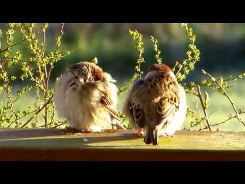 Two young tree sparrows preening before nap time