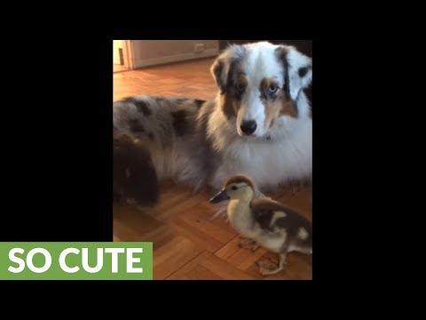 Australian Shepherd preciously watches over baby ducks