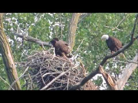Bald Eagle Nest Falls from Tree
