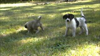 Border Collie Lab Mixed Puppies