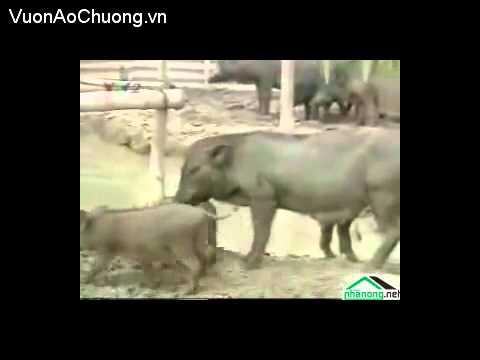 Phần 4,Kỹ Thuật Nuôi Lợn Rừng,Kỹ Thuật Nuôi Heo Rừng