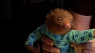 Tiny Baby Sloth gets the Onesie Treatment -