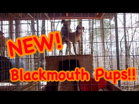 NEW BLACKMOUTH CUR PUPPIES 🐶🐶🐶 At Hollis Farms