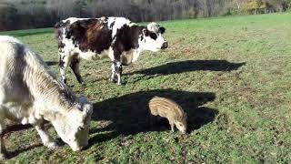 La belle histoire d'amour entre un marcassin et un troupeau de vaches en Mayenne