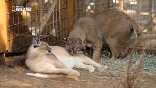 Странная дружба животных. Самые невероятные друзья HD